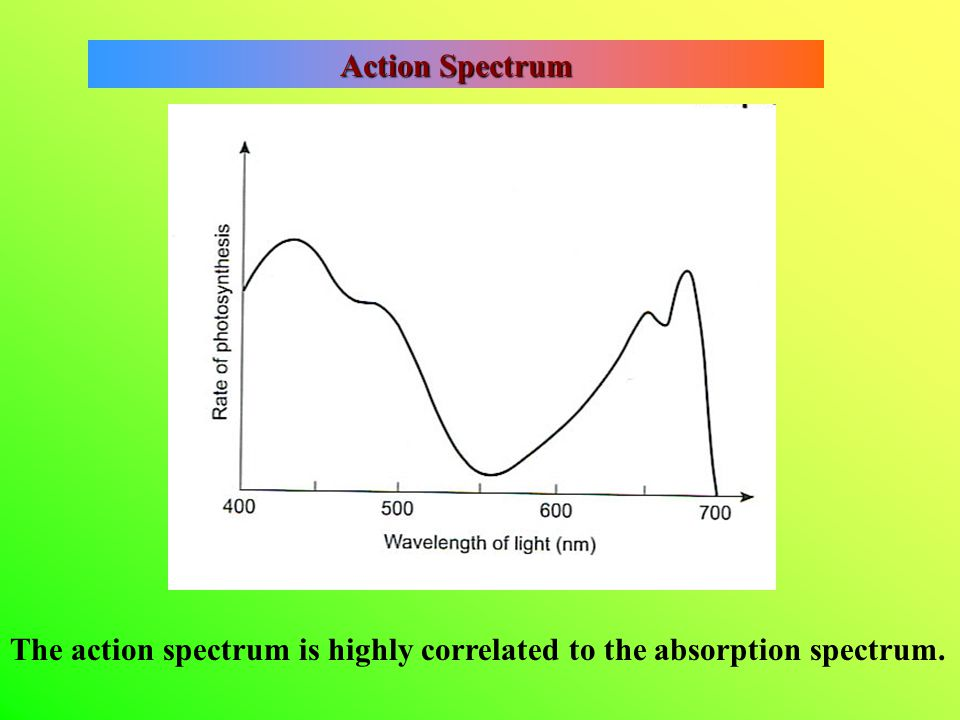 Action Spectrum The action spectrum is highly correlated to the absorption spectrum.