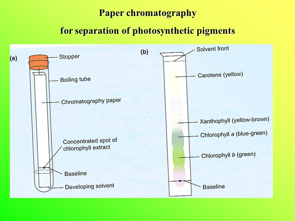 separation of photosynthetic pigments by paer Separation of several spinach leaf pigments by paper chromatography   absorption/reflection (eg, chlorophyll absorbs red/blue reflects or transmits  green.