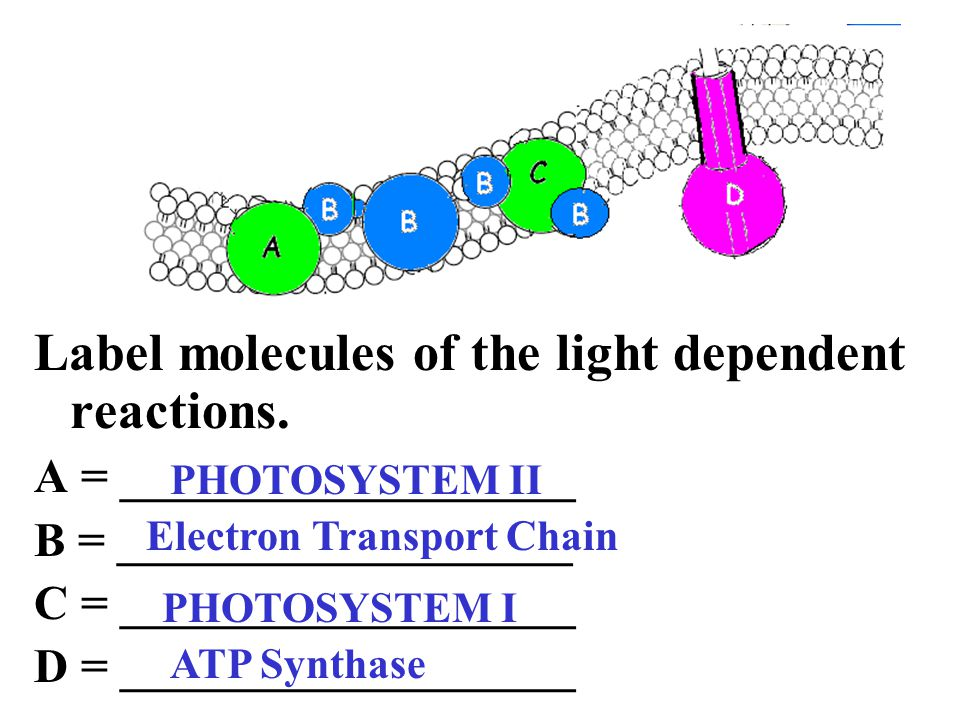 Label molecules of the light dependent reactions.