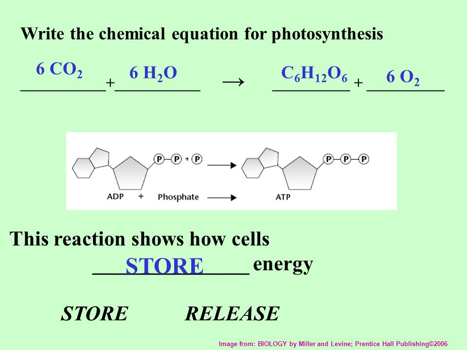STORE This reaction shows how cells _______________ energy