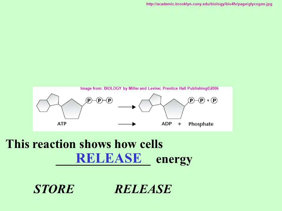 RELEASE This reaction shows how cells _______________ energy