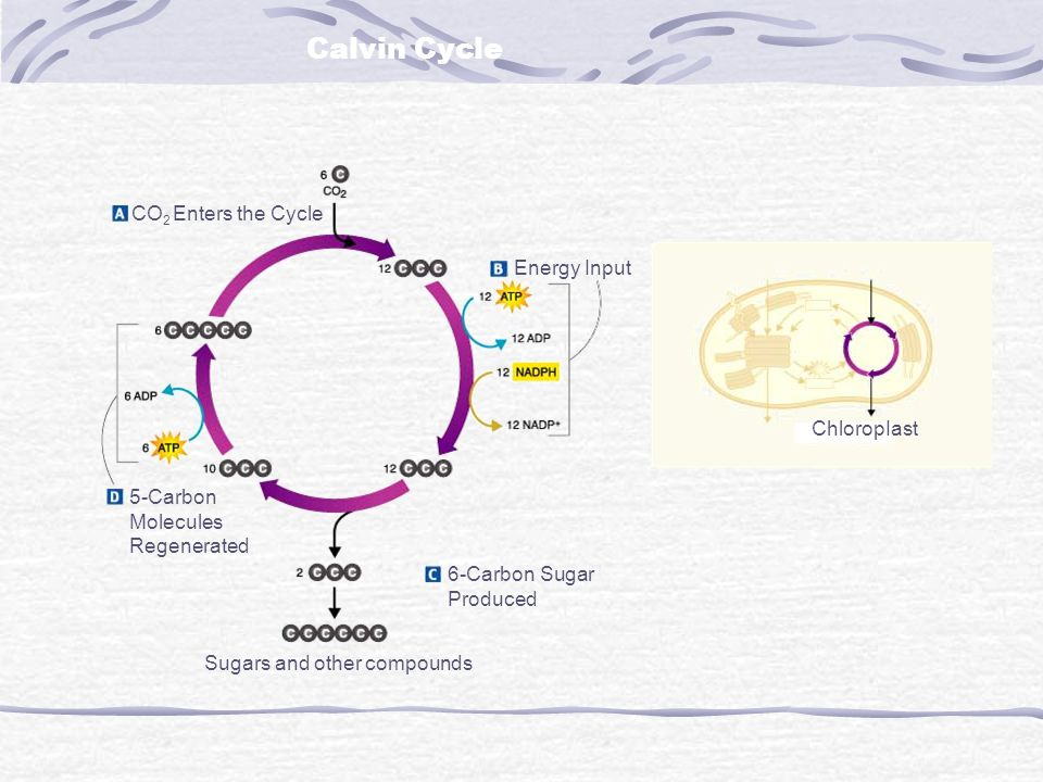 Calvin Cycle CO2 Enters the Cycle Energy Input ChloropIast 5-Carbon