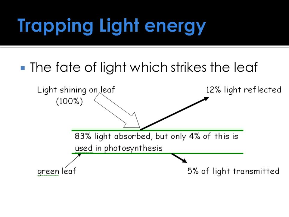 Trapping Light energy The fate of light which strikes the leaf