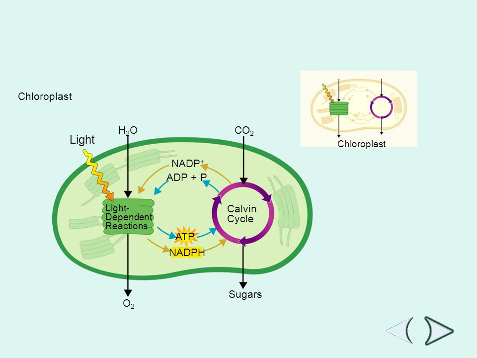 Figure 8-7 Photosynthesis: An Overview