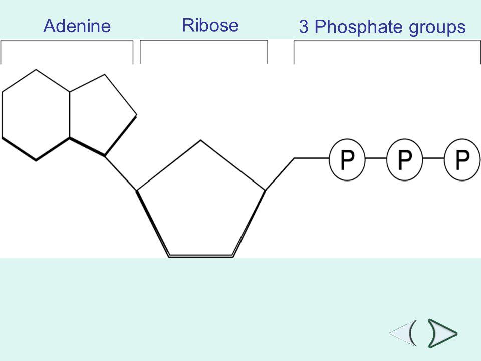Adenine Ribose 3 Phosphate groups