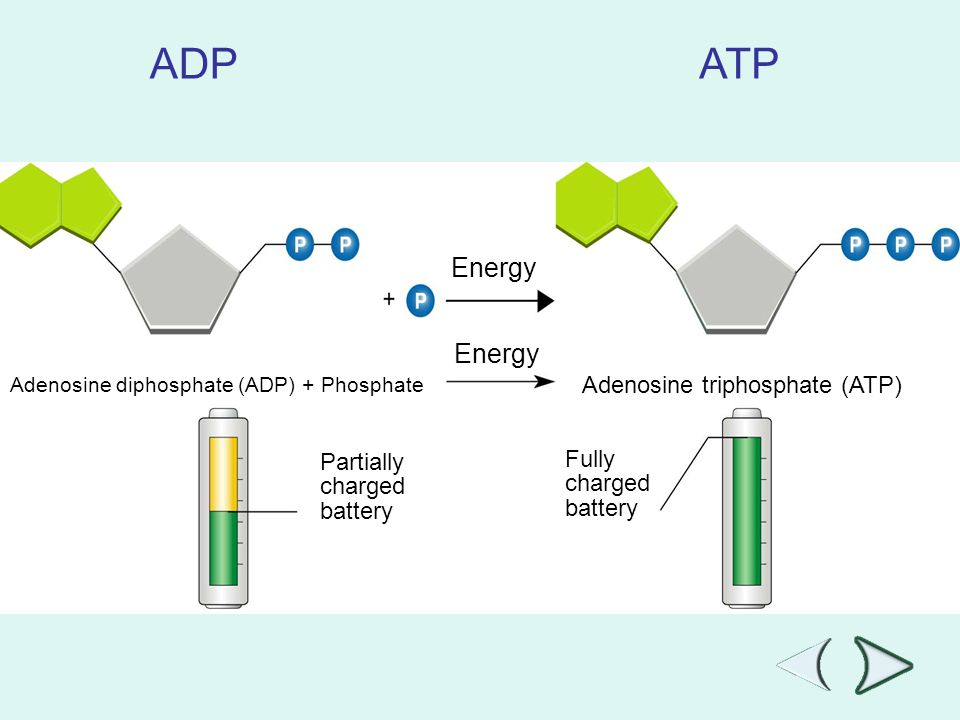 ADP ATP Energy Energy Adenosine triphosphate (ATP) Fully Partially