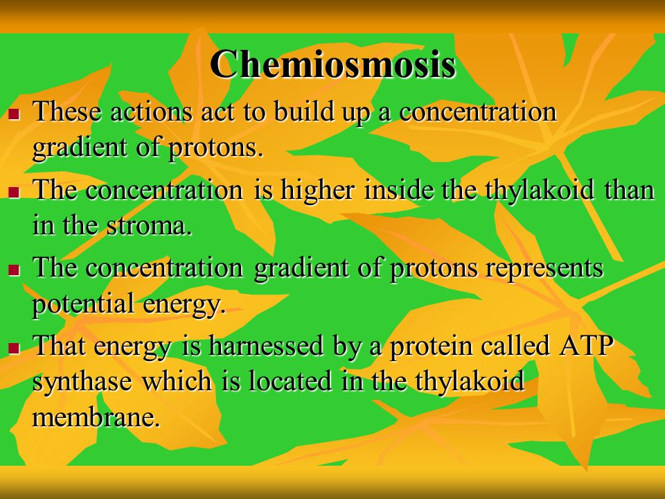 Chemiosmosis These actions act to build up a concentration gradient of protons. The concentration is higher inside the thylakoid than in the stroma.