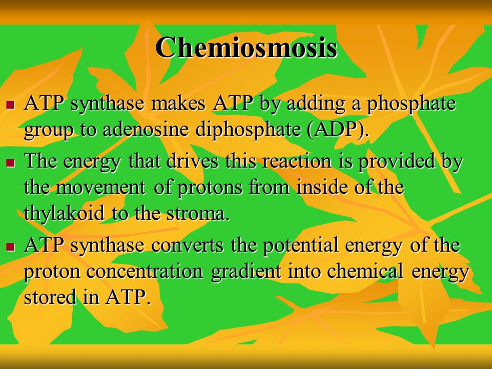 Chemiosmosis ATP synthase makes ATP by adding a phosphate group to adenosine diphosphate (ADP).