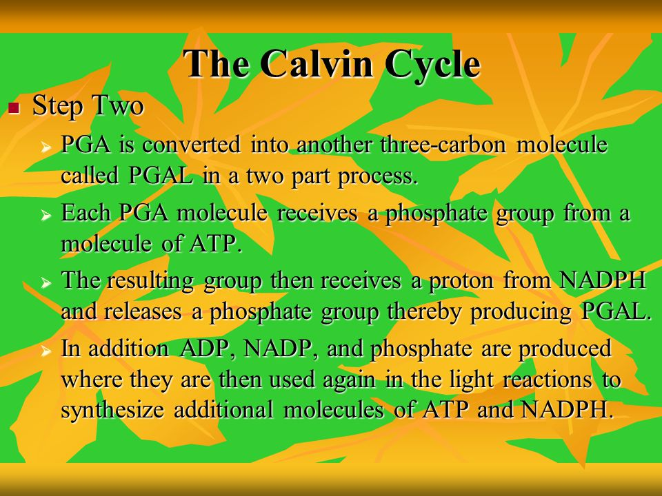 The Calvin Cycle Step Two