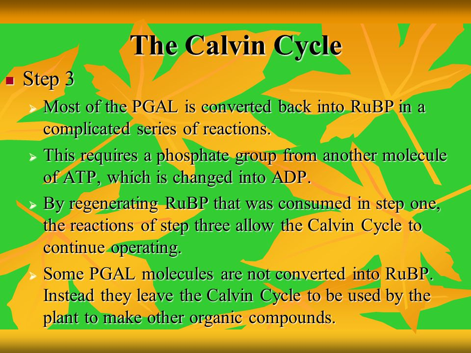 The Calvin Cycle Step 3. Most of the PGAL is converted back into RuBP in a complicated series of reactions.