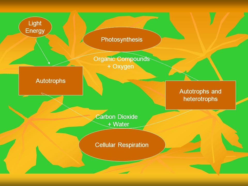 Light Energy. Photosynthesis. Organic Compounds. + Oxygen. Autotrophs. Autotrophs and. heterotrophs.