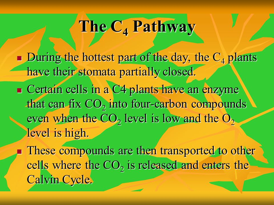 The C4 Pathway During the hottest part of the day, the C4 plants have their stomata partially closed.