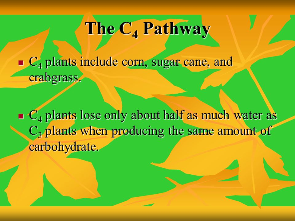 The C4 Pathway C4 plants include corn, sugar cane, and crabgrass.