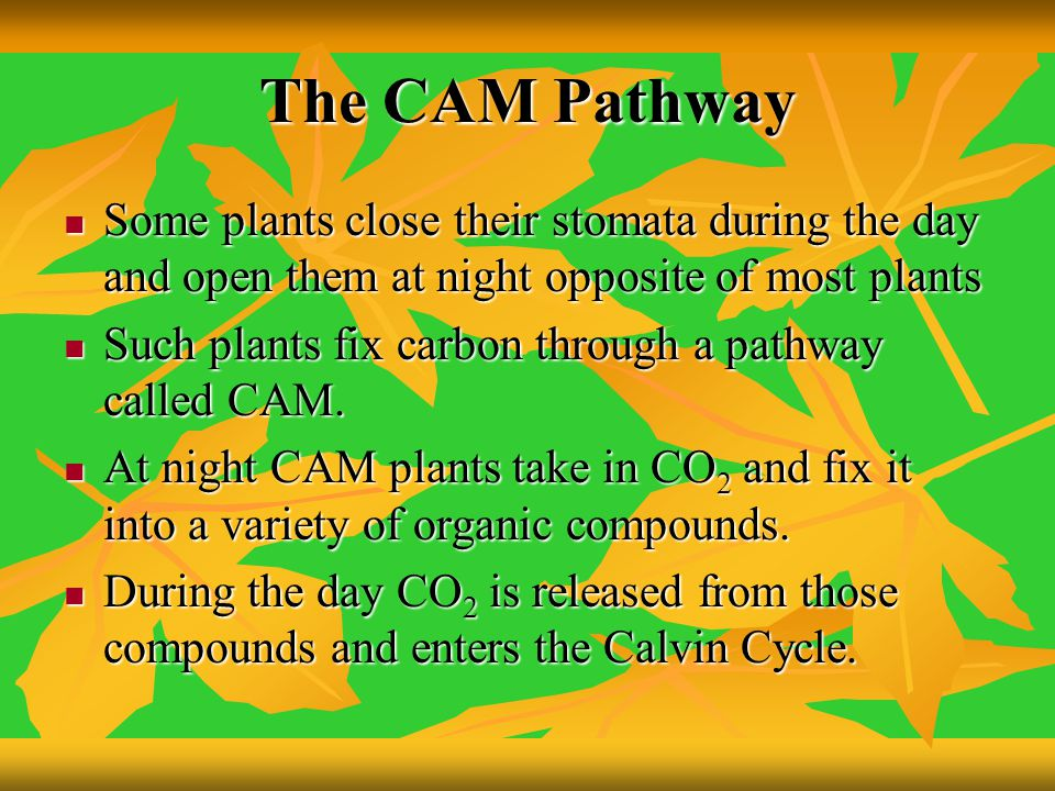 The CAM Pathway Some plants close their stomata during the day and open them at night opposite of most plants.