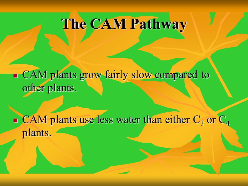 The CAM Pathway CAM plants grow fairly slow compared to other plants.