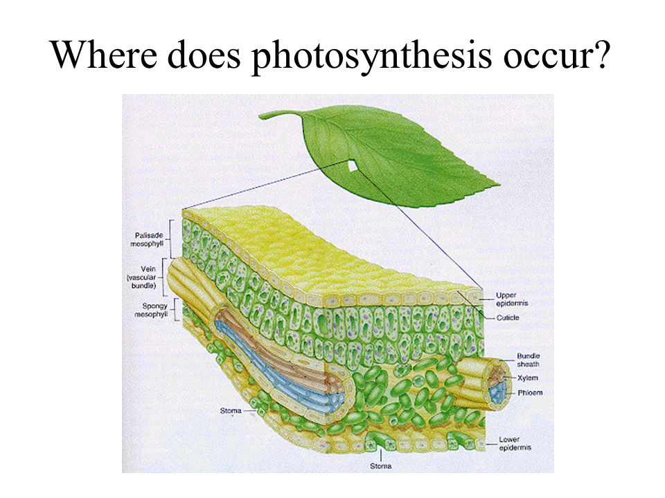 Where does photosynthesis occur