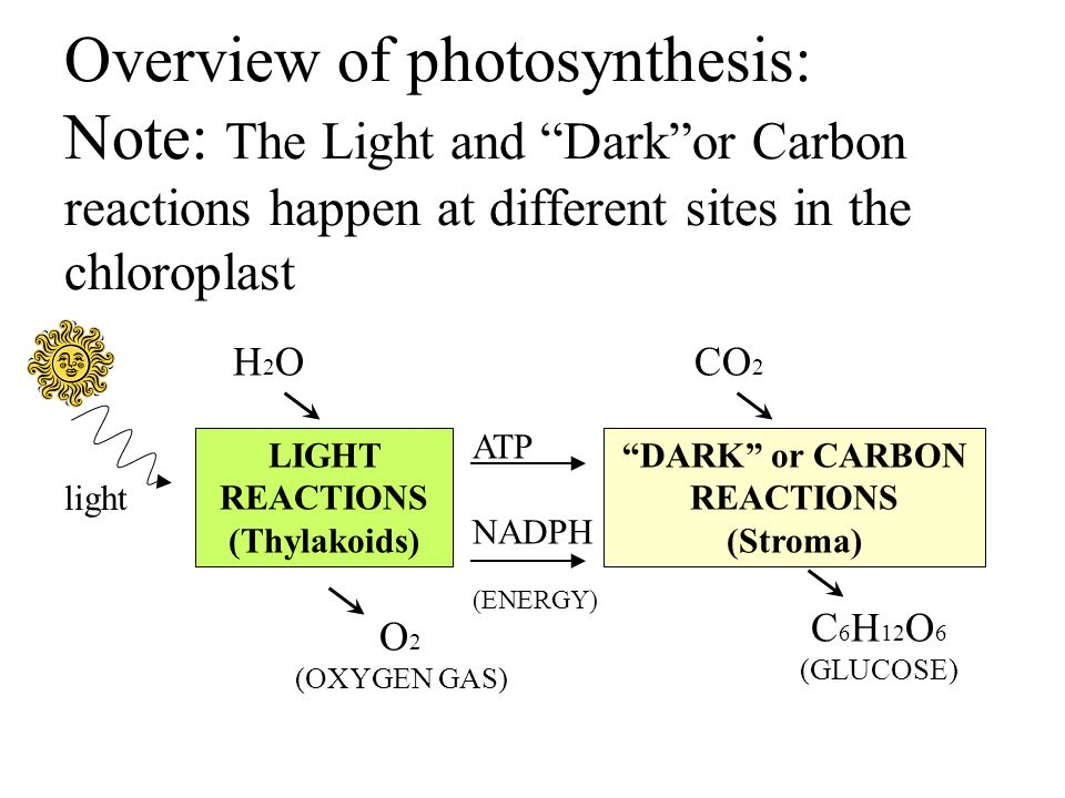 Overview of photosynthesis: Note: The Light and Dark or Carbon reactions happen at different sites in the chloroplast