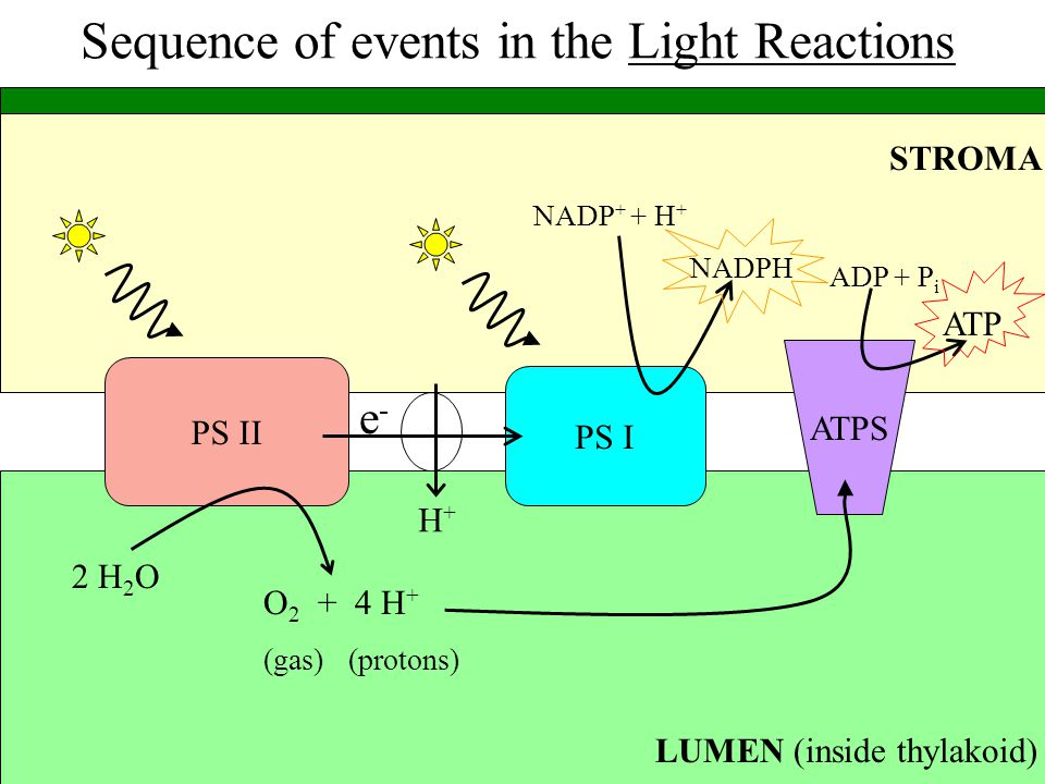 Sequence of events in the Light Reactions