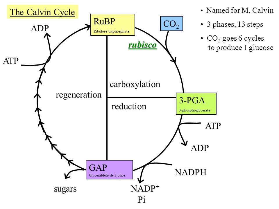The Calvin Cycle RuBP CO2 ADP rubisco ATP carboxylation regeneration