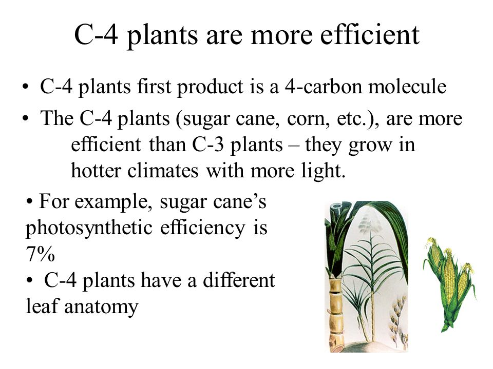 C-4 plants are more efficient