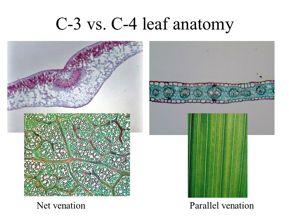 C-3 vs. C-4 leaf anatomy Net venation Parallel venation