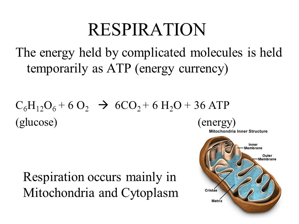 RESPIRATION The energy held by complicated molecules is held temporarily as ATP (energy currency) C6H12O6 + 6 O2  6CO2 + 6 H2O + 36 ATP.