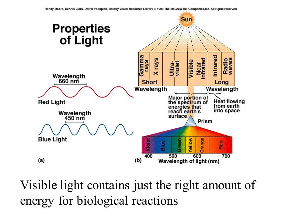 Visible light contains just the right amount of energy for biological reactions