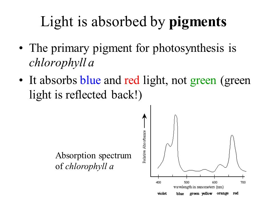 Light is absorbed by pigments
