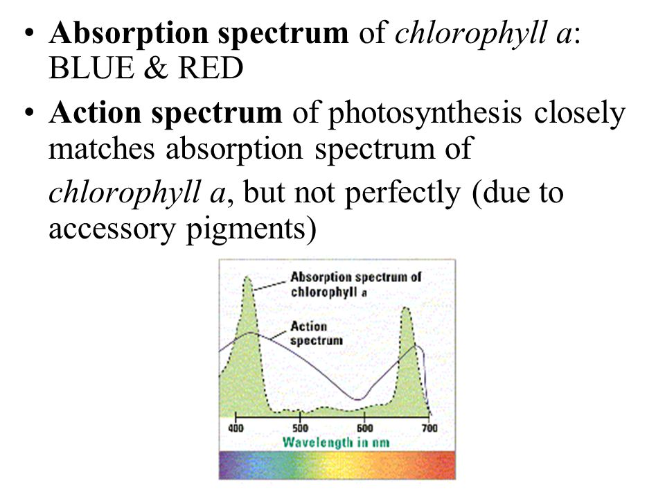Absorption spectrum of chlorophyll a: BLUE & RED