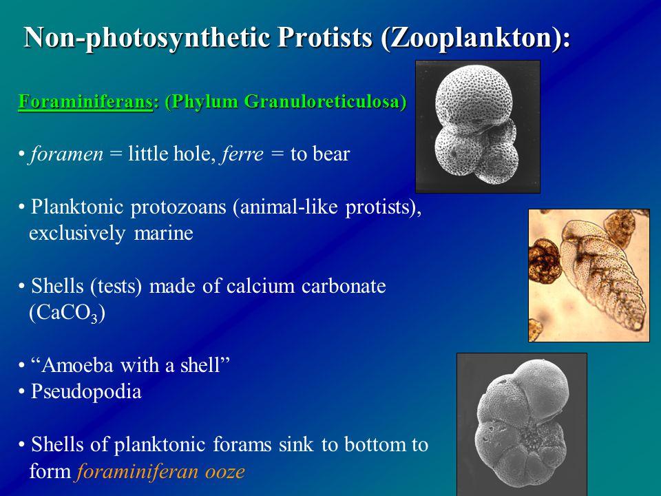 Non-photosynthetic Protists (Zooplankton):