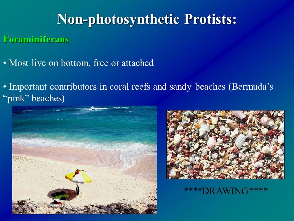Non-photosynthetic Protists: