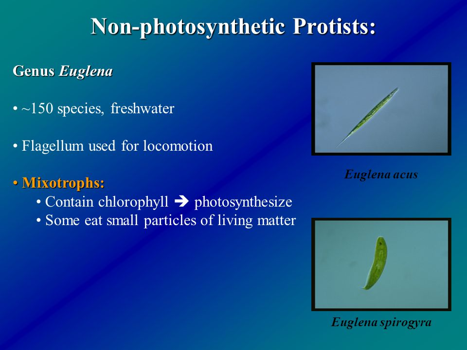 Non-photosynthetic Protists: