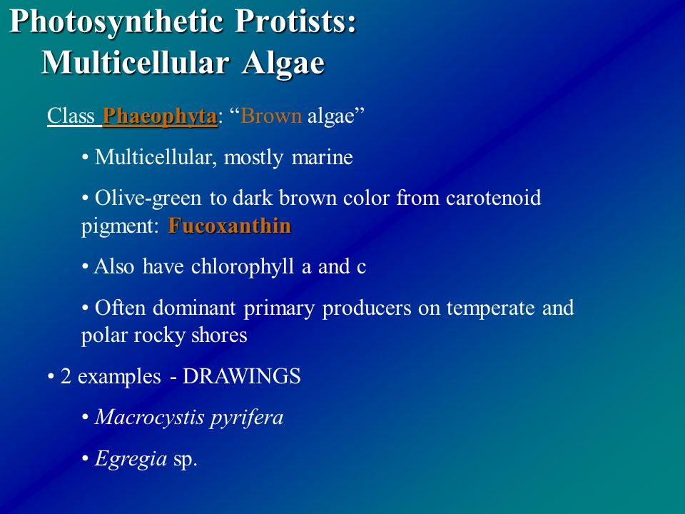 Photosynthetic Protists: Multicellular Algae