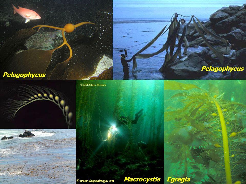 Pelagophycus Pelagophycus Macrocystis Egregia
