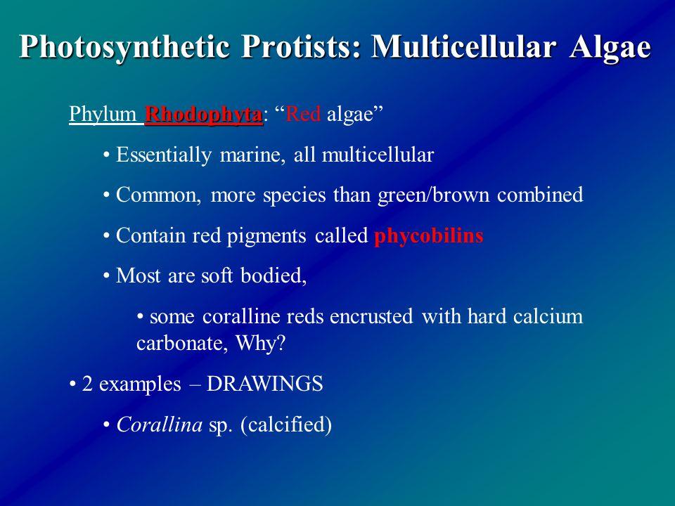 Photosynthetic Protists: Multicellular Algae