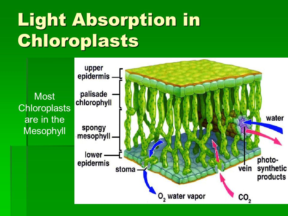 Light Absorption in Chloroplasts