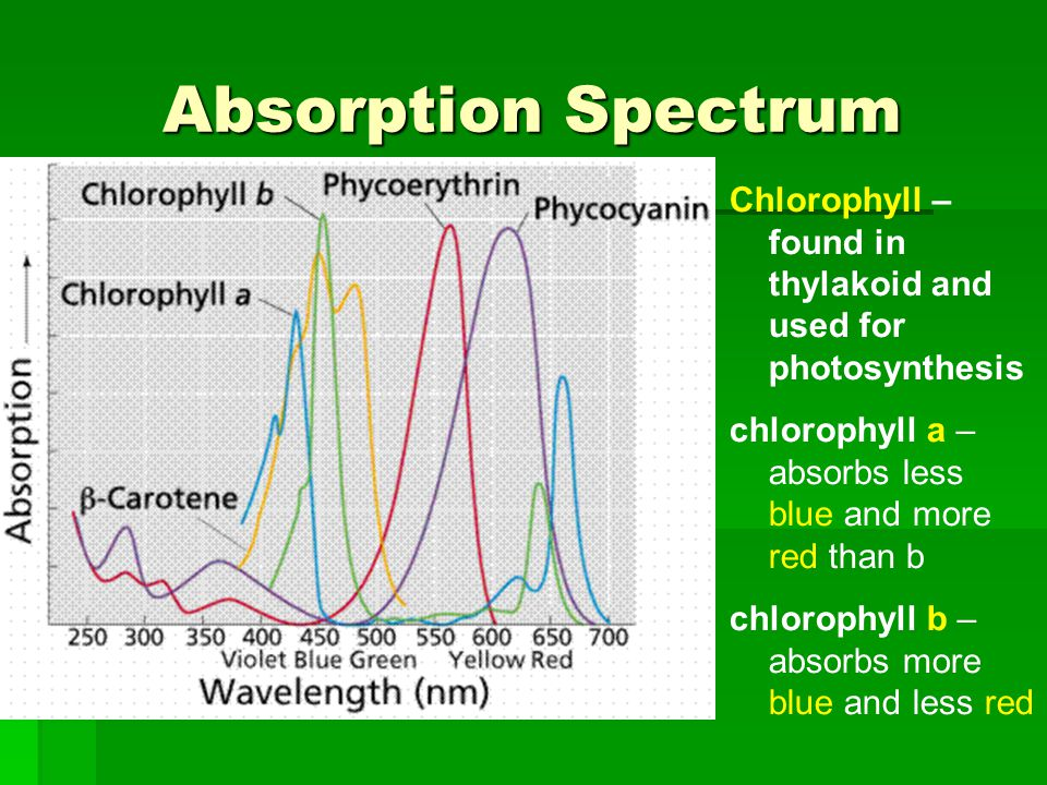 Absorption Spectrum Chlorophyll – found in thylakoid and used for photosynthesis. chlorophyll a – absorbs less blue and more red than b.