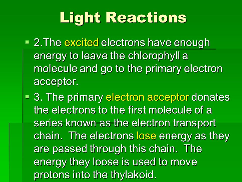 Light Reactions 2.The excited electrons have enough energy to leave the chlorophyll a molecule and go to the primary electron acceptor.