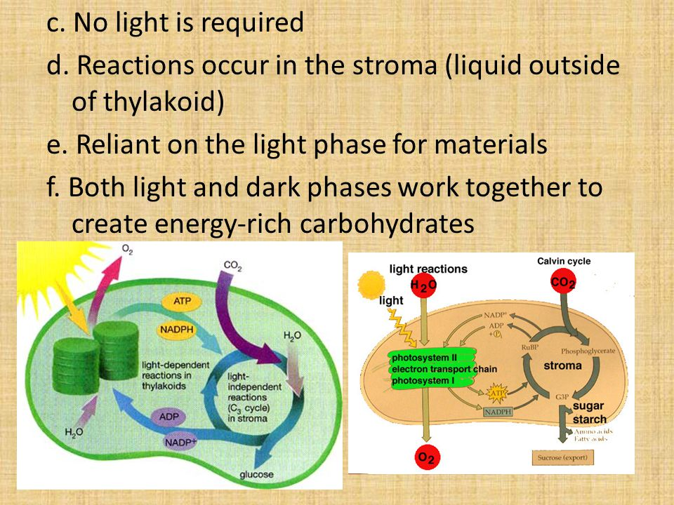 c. No light is required d. Reactions occur in the stroma (liquid outside of thylakoid) e.
