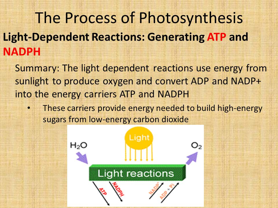 The Process of Photosynthesis