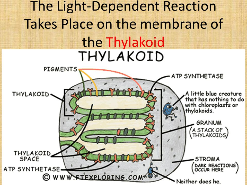 The Light-Dependent Reaction Takes Place on the membrane of the Thylakoid