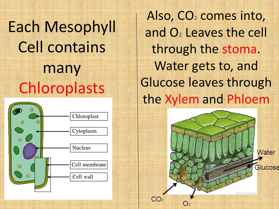Each Mesophyll Cell contains many Chloroplasts