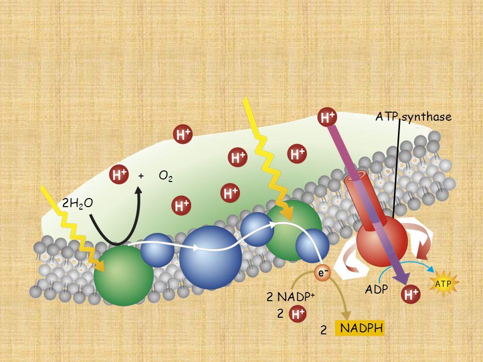 ATP synthase + O2 2H2O ADP 2 NADP+ 2 NADPH 2