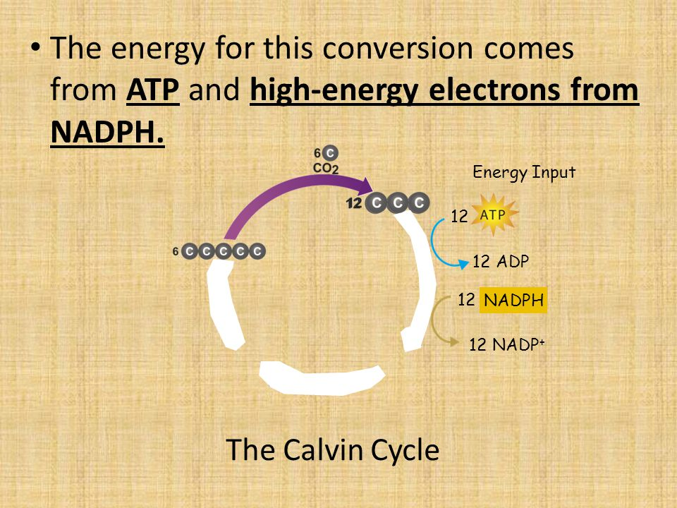 The energy for this conversion comes from ATP and high-energy electrons from NADPH.