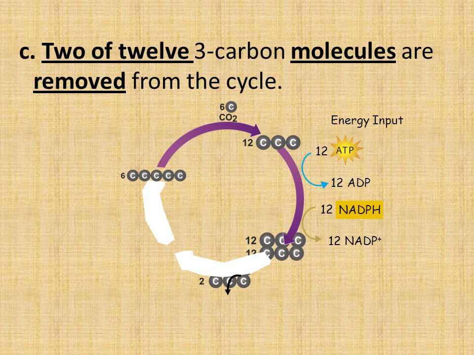 c. Two of twelve 3-carbon molecules are removed from the cycle.