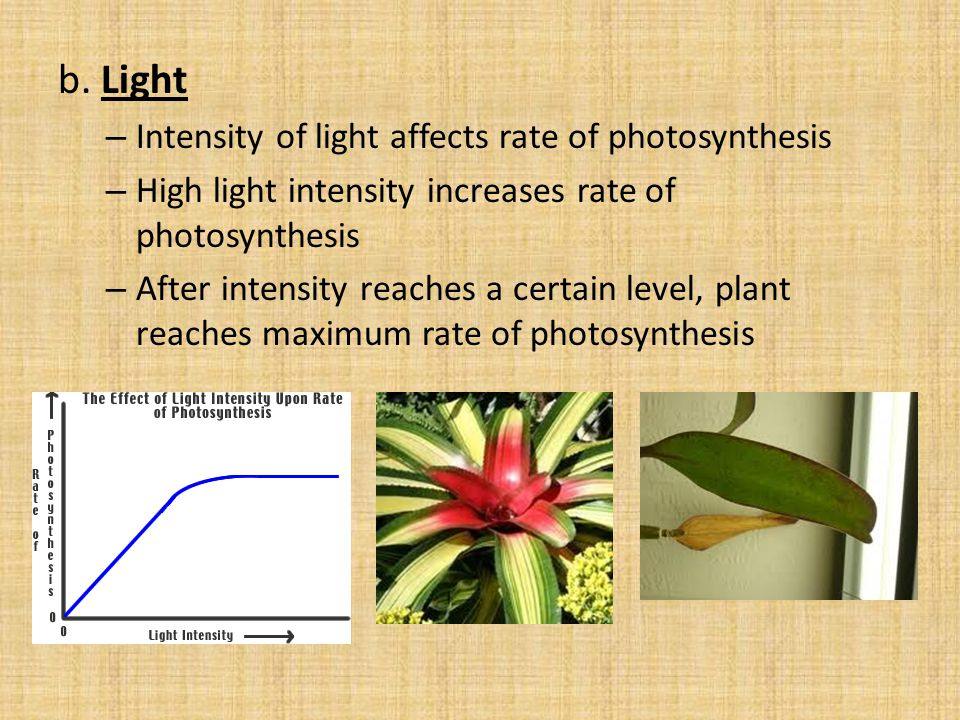 b. Light Intensity of light affects rate of photosynthesis
