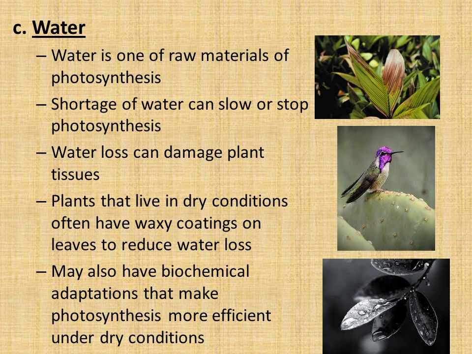 c. Water Water is one of raw materials of photosynthesis