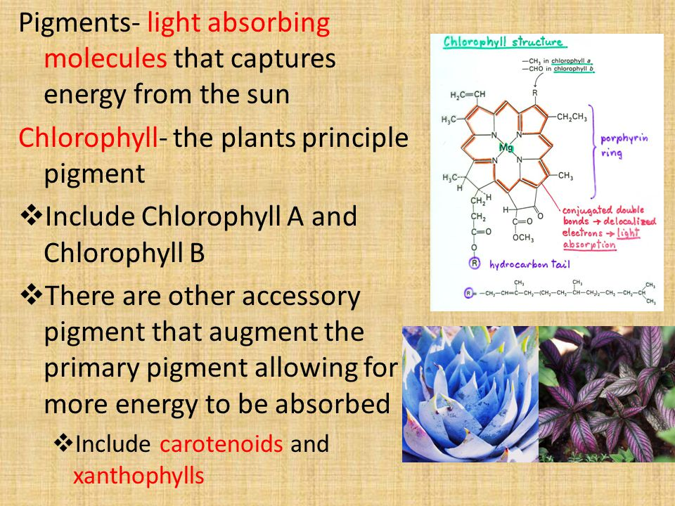 Pigments- light absorbing molecules that captures energy from the sun