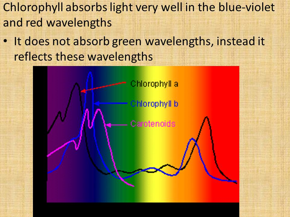 Chlorophyll absorbs light very well in the blue-violet and red wavelengths