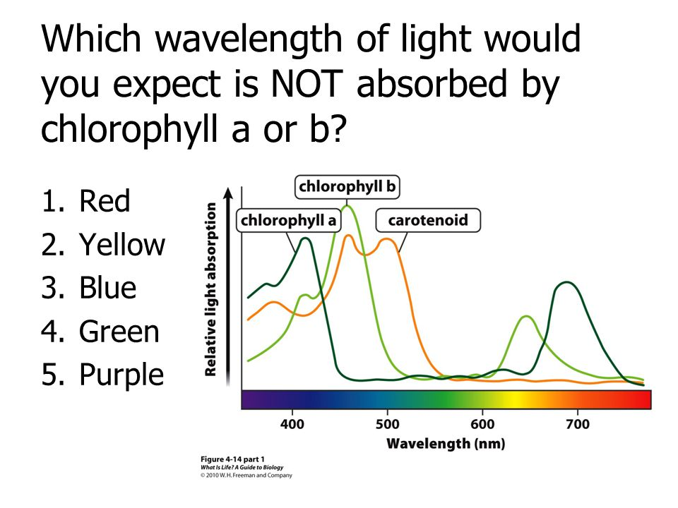 Which wavelength of light would you expect is NOT absorbed by chlorophyll a or b
